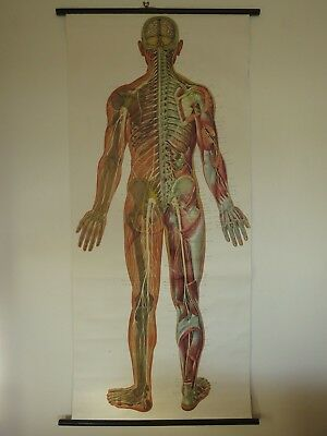 Vintage Pull Down Medical School Anatomy Chart Nervous System  Full Body