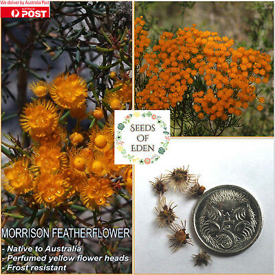 10 MORRISON FEATHERFLOWER SEEDS (Verticordia nitens); Australian native flower