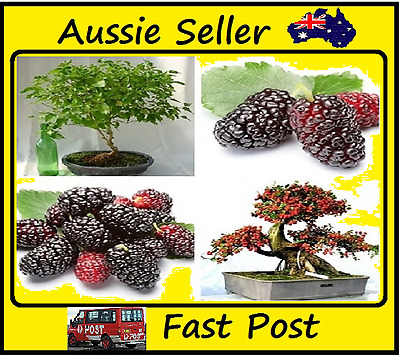 Mulberry Fruit Seeds Easy Grow Home Bonsai Tree Black Mulberry 200 Seed Lots