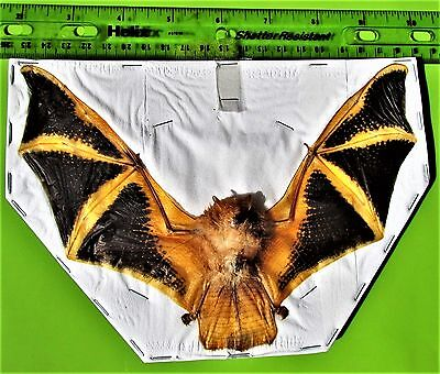 "Asian Painted Bat Kerivoula picta 7-8"" Wingspan FAST SHIP FROM USA"