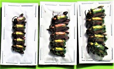 Lot of 20 Red Frog-Leg Beetle Chrysomelidae Sagra laticollis FAST FROM USA