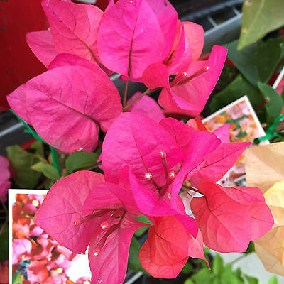 MISS MANILLA Bougainvillea orange-pink flowerS climbing plant in 140mm pot