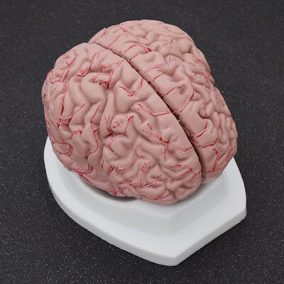 8 Parts Human Brain Model Vision Scientific Medical Educational Supply School