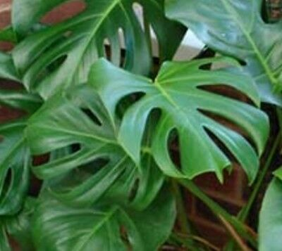 Monstera Deliciosa Plant x1 seedling Not for NT ALL PLANTS MUST GO