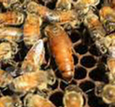Live Italian Honeybee 3# Package with Queen - MAY DELIVERY