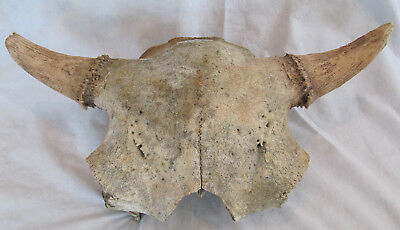 Buffalo Skull Bison Native American Natural History Old Fossil Artifact Decor