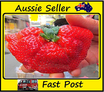 Strawberry Seeds Giant Red Strawberries Sweet Big Large Type 500 Seed Lots