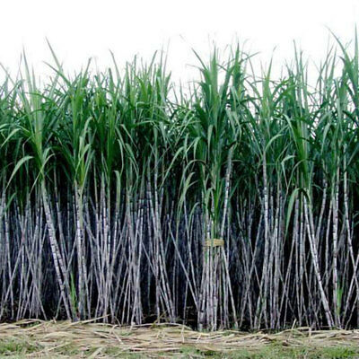 1000Pcs/Pack Sugar Cane Seeds Sugar Maker Easy Care Planting Garden Plants