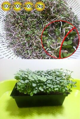 Kale Red Russian Sprout seeds  100g 200g 400g 2kg