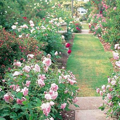 Egrow 200Pcs Garden Climbing Rose Seeds Balcony Drcoration Mix Colors Flower See
