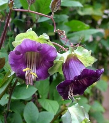 Cobaea Scandens Vine 10 Seeds Cathedral Bells, Cup and Saucer Flowers Climber