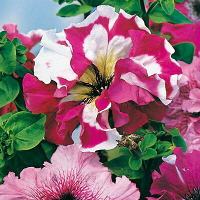 PETUNIA HYBRIDA SUPERBISSIMA MIX (200 SEEDS) The largest petunia flowers!!