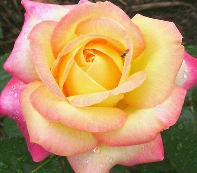PEACE ROSE Hybrid Tea slightly fragrant double yellow-pink flowers plant