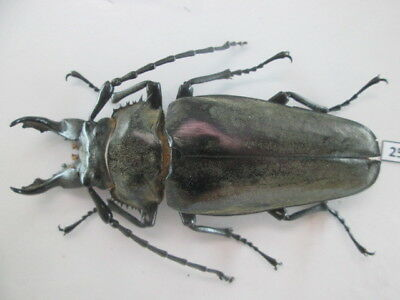 25116. Insects: Prionidae Trictonotomidae. From South Vietnam.82mm