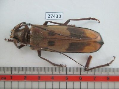 27430. Insects: Cerambycidae. From South Vietnam.