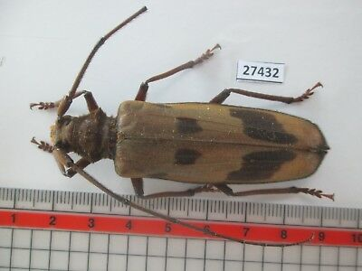 27432. Insects: Cerambycidae. From South Vietnam.