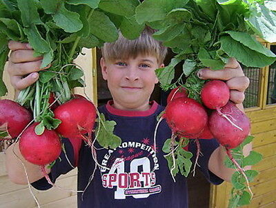 Giant Red Radish - Rosso Gigante (500 Seeds) Heirloom!