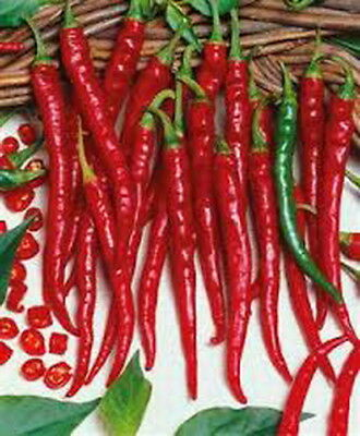 Hot Chilli Pepper Cayenne Long Slim Red (20 Seeds)