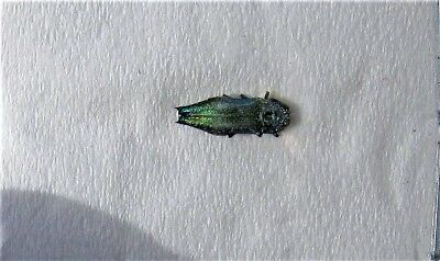 Lot of 5 Tiny Hibiscus Jewel Beetle Agrilus acutus FAST FROM USA