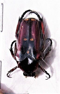 Lot of 5 Flower Beetle Oncosterna (Ixorida) celebensis FAST SHIP FROM US