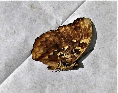 Lot of 2 Beautiful Golden Butterfly Cymothoe diphia Male Folded FAST FROM USA