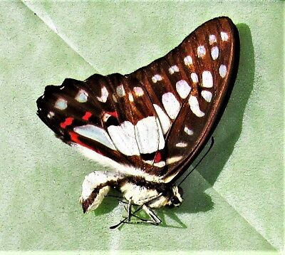 Lot of 2 Sulawesi Meyer's Triangle Butterfly Graphium meyeri Male Folded FAST US
