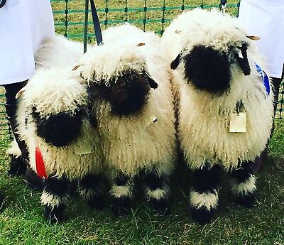 RARE, AWARD-WINNING Valais Blacknose Raw Fleece. Unwashed, Ready To Spin / Felt