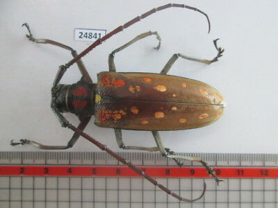 24841. Insects: Cerambycidae. From South Vietnam