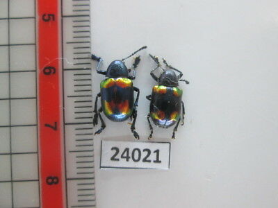 24021. Insects: Chrysomelidae. From South Vietnam