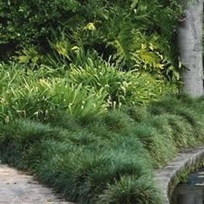 100x TALL MONDO GRASS Ophiopogon japonicas ornamental border plants in 75mm pots