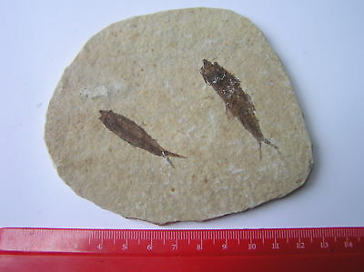 Stunning Double  Fossil Fish - Green River Formation, USA - A GORGEOUS FOSSIL!