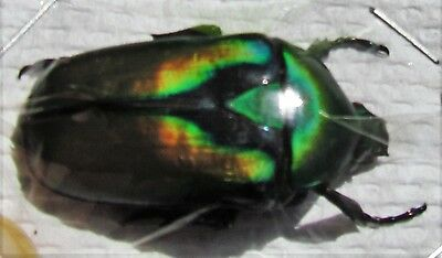 Gold Flower Beetle Rhomborrhina resplendens chatanayi Gold Form FAST FROM USA