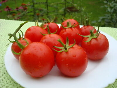 TOMATO MOBIL (100 SEEDS) HEIRLOOM, Early, high-yielding variety!