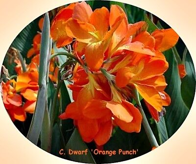2x DWARF CANNA RHIZOME 'ORANGE PUNCH' MASSES PENDULOUS ORANGE BLOOMS +FREE SEEDS