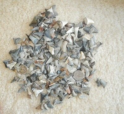 Lot of 20 mako shark teeth, swam with the megalodon, Virginia and Maryland