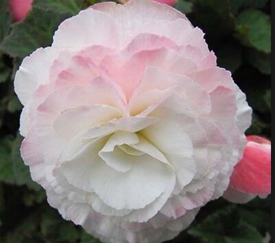 Ex251 Begonia Non-Stop Apple Blossom x10 seeds