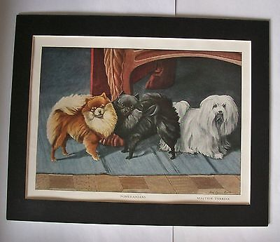 Pomeranians Maltese Terrier Dog Print Louis Fuertes Color Bookplate 1919 Matted