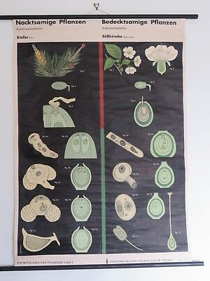 Vintage Pull Roll Down Botanical School Wall Chart Of Pine & Cherry