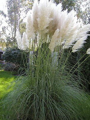 Cortaderia selloana - Pampas grass - WHITE (100 SEEDS)