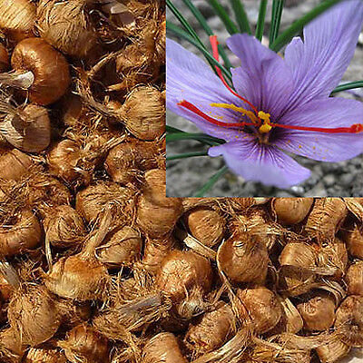 8Pcs Saffron Bulbs Crocus Sativus Flower Seeds Easy to Grow Garden Plant Super