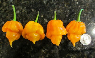 Trinidad Moruga Scorpion Yellow - Hot Chilli Pepper (10 Seeds) Extremely Hot!