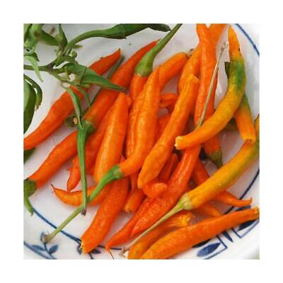 HOT CHILLI THAI ORANGE (15 SEEDS) Great in container!!