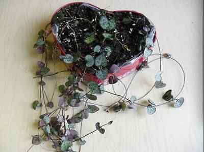 STRING / CHAIN OF HEARTS ~ 3 unrooted stem cuttings