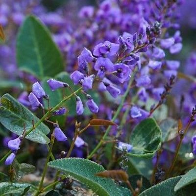 6 x Purple Hardenbergia violacea native fast climb flowers plants in 40mm pots
