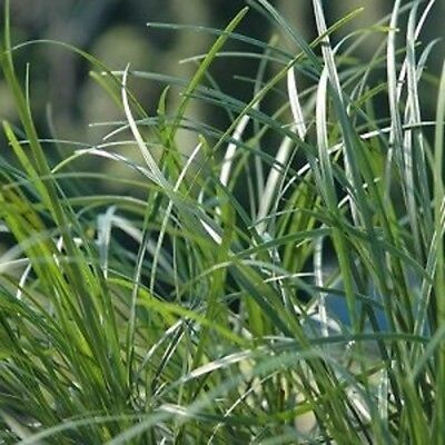 6 x TALL MONDO GRASS Ophiopogon japonicas ornamental border plants in 40mm pots