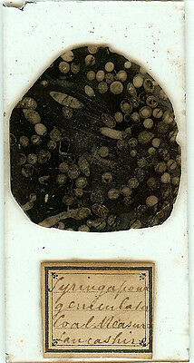 Syringopora (Fossil Coral) from Lancashire Coal Measures Microscope Slide