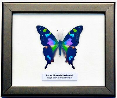 Real Graphium Weiskei Butterfly In Framed Display: Taxidermy