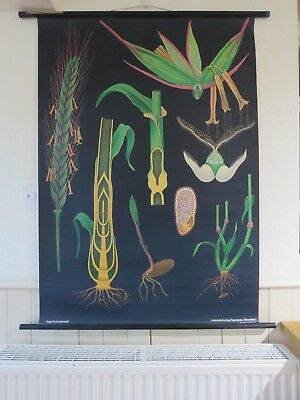 Vintage Pull Down School Wall Chart Rye Jung Koch Quentell Wheat Grain Botanical