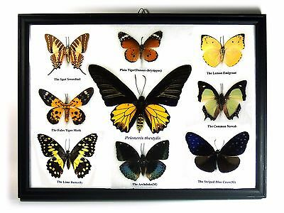 Mix 9 Real Butterfly Cool Set Display Insect Taxidermy in Frame Gift FS gpasy #3