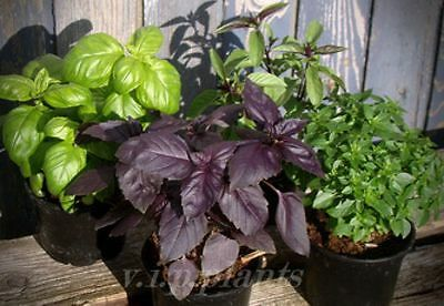 BASIL - 12 Types Variety Mix (1400 SEEDS)